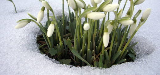 spring flowers - perce neige